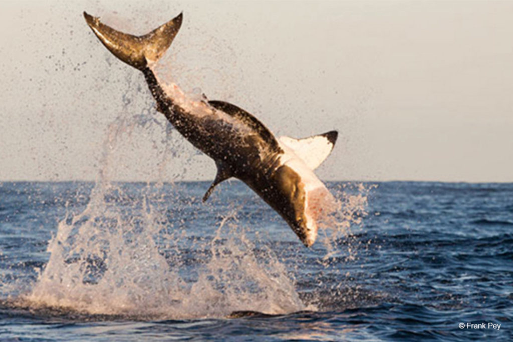 DIVE THE AZORES WHITE SHARK